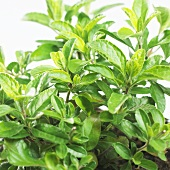 Sage (Salvia hygrophilla nevrapa)