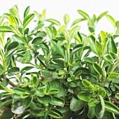 Sage (Salvia greggii)