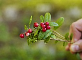 A sprig of fresh cowberries