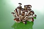 Pioppino mushrooms