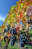 Blauburgunder grapes, late vintage vines
