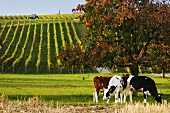 Cows at the foot of a vineyard, Yens, Switzerland