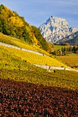 Vineyards in autumn, Ollon, Switzerland