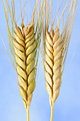 Emmer wheat (Triticum dicoccon), also known as farro