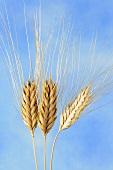 Wild wheat (Triticum timopheevi)