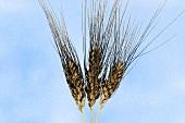 Rivet or cone wheat (Triticum turgidum var. columbinum)
