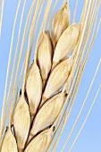 Rivet or cone wheat (Triticum turgidum)