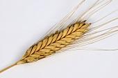 Einkorn wheat (Triticum monococcum var. flavescens)