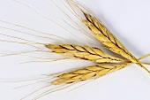 Ispahan emmer wheat (Triticum ispahanicum)
