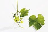 Vine leaves and shoot