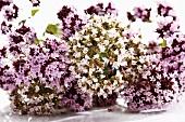 White and pinkish-purple marjoram flowers