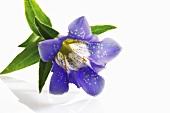 A blue gentian flower