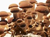 Pioppino mushrooms (Italy)
