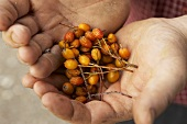 Hands holding dried whitebeam berries