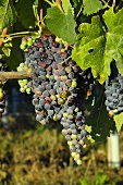 Sangiovese grapes on the vine, Villa Pillo Estate, Tuscany, Italy