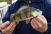 Freshly caught perch in an angler's hands