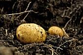 Fresh organic potatoes in the soil