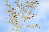 Bristle oat (Avena strigosa)