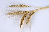 Persian wheat (Triticum persicum)