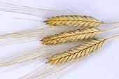 Einkorn wheat (Triticum monococcum)