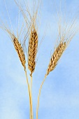 Ethiopian wheat (Triticum aethiopicum)