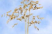 Two stalks of common wild oat (Avena fatua)