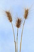 Mouse barley