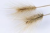 Seaside barley