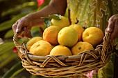Woman holding basket of freshly picked oranges