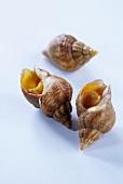 Three fresh sea snails