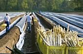 Asparagus harvest: fresh white asparagus in baskets