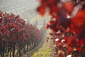 Autumn in a vineyard near Arzheim, Palatinate, Germany