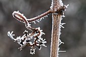 Hoar frost on a vine