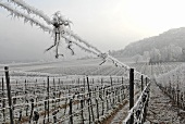Hoar frost in a vineyard near Bad Dürkheim, Palatinate, Germany