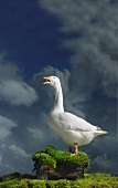 A goose in the open air