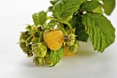 Yellow raspberries on branch (variety: Fall Gold)