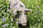 Mangalitsa pig in a field