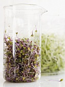 Red cabbage and alfalfa sprouts in glass beakers