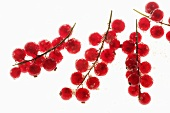 Redcurrants (backlit)