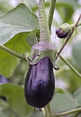 Aubergines on the plant