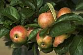 'Bohnapfel' apples on the tree