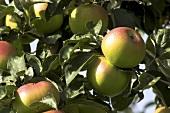 'Brettacher' apples on the tree