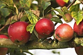 'Gloster' apples