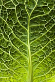 Savoy cabbage leaf (close-up)
