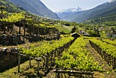 Blanc de Morgex (Wine-growing region in Aosta Valley, Italy)
