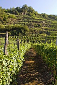 Landscape of vines, Valtellina, Lombardy, Italy