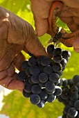 Cutting a bunch of grapes, Quinta do Crasto, Portugal