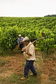 Vineyard workers, Quinta do Sanguinhal, Portugal