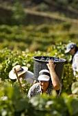 Grape pickers, Quinta dos Caravalhos, Portugal