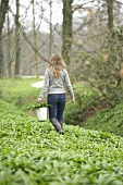 Woman picking ramsons (wild garlic) in a wood